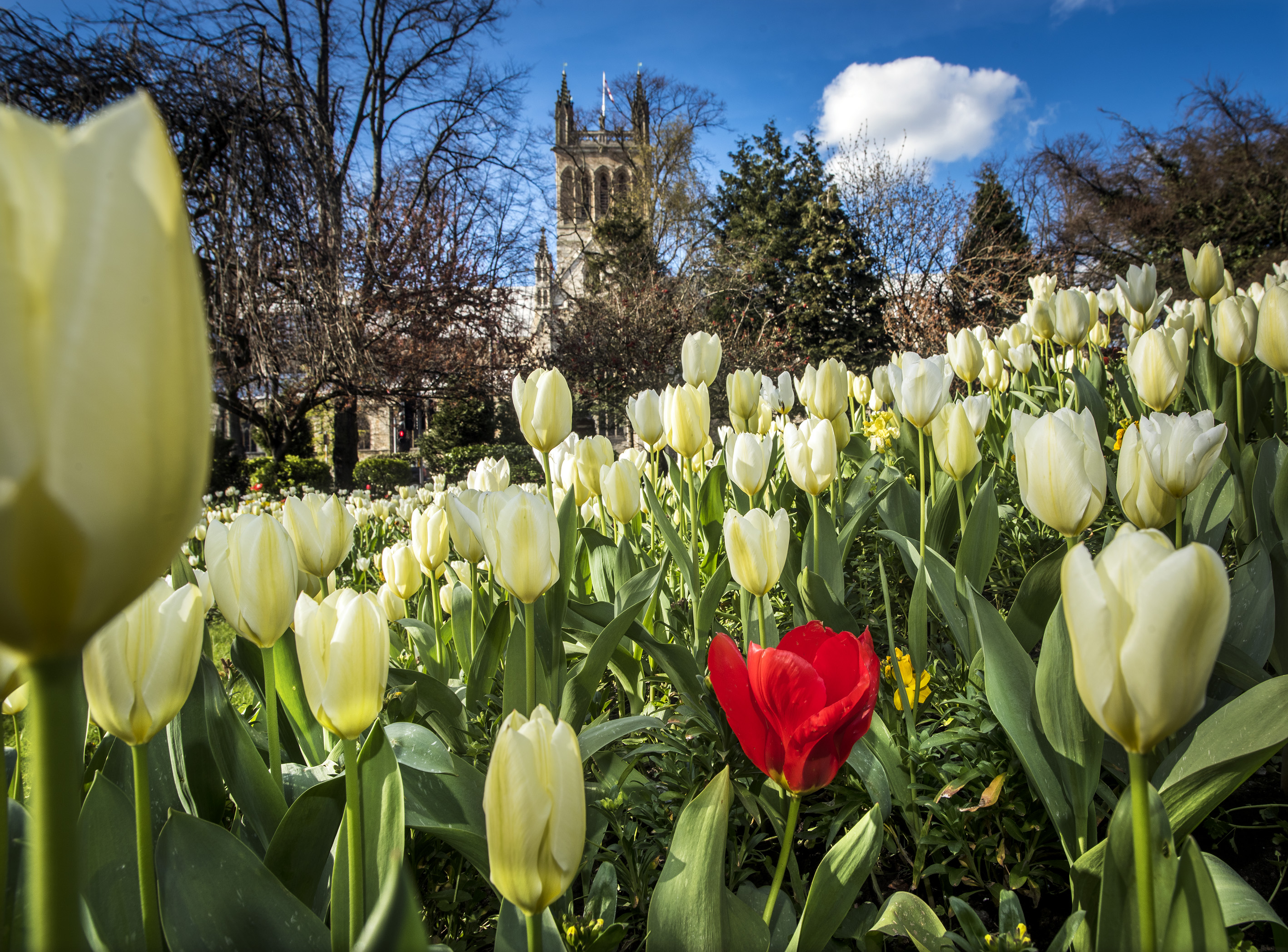 Images of tulips in Selby park