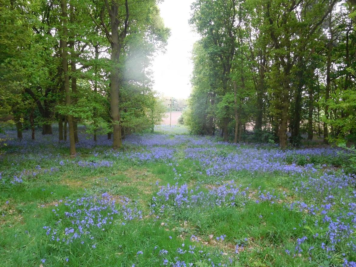 Image of a lavender field at Brayton Barff